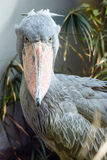 The shoebill closeup. Royalty Free Stock Images