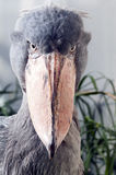 Shoebill Stock Images
