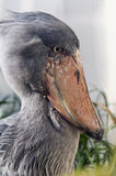 Shoebill Stock Photo