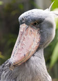 Shoebill Stock Photography