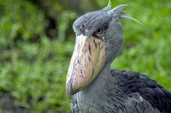 Shoebill Crane Royalty Free Stock Image