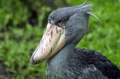 Shoebill Crane. A close-up shot of a shoebill crane Royalty Free Stock Photography