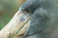 Shoebill detail Royalty Free Stock Photo