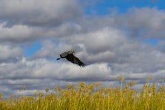Shoebill flyg royaltyfri bild