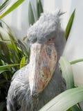 Shoebill. Grey shoebill with green leaves Stock Photos