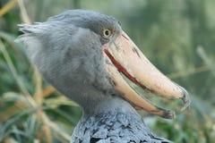 Shoebill. The head of adult shoebill Royalty Free Stock Image