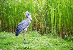 Shoebill i naturlig miljö Royaltyfri Foto