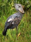 Shoebill im wilden - Uganda, Afrika Lizenzfreies Stockfoto