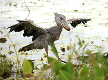Free Shoebill In The Wild - Uganda, Africa Royalty Free Stock Image - 13607566