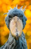 Shoebill. Portrait of shoebill with blur background Royalty Free Stock Photography