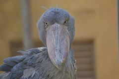 Shoebill ptak Obraz Royalty Free