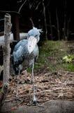 Shoebill ptak przy Kobe zoo, Japonia Fotografia Stock