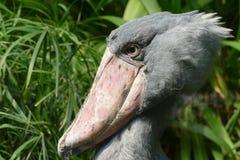 Shoebill. Rare african gray shoebill bird Royalty Free Stock Image