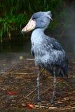 shoebill rex balaeniceps Стоковое Изображение