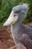 Shoebill - rex del Balaeniceps Imágenes de archivo libres de regalías