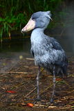 Shoebill (rex del Balaeniceps) Immagine Stock