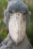 Shoebill - rex do Balaeniceps Fotografia de Stock