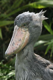 Shoebill (rex do Balaeniceps) Fotografia de Stock Royalty Free