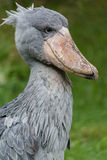 Shoebill. Sitting in the grass Stock Photography