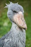 Shoebill. Sitting in the grass Stock Images