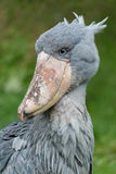 Shoebill. Sitting in the grass Royalty Free Stock Images