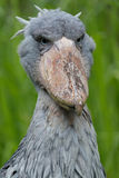 Shoebill. Sitting in the grass Stock Image
