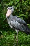 Shoebill Storch Lizenzfreies Stockbild