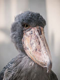 Shoebill-Storch (Balaeniceps rex Stockbild