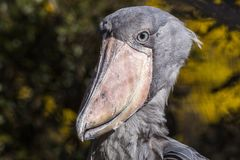 Shoebill-Storch Balaeniceps rex Stockbild
