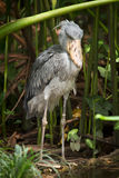 Shoebill stork. Lower Zambezi, Zambia Africa stock images