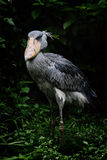 A Shoebill Stork. Front Shoot of an endangered species, Shoebill Royalty Free Stock Photo