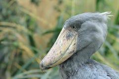 Shoebill stork Royaltyfri Foto