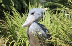 Shoebill stork Arkivbild