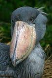 Shoebill stork Stock Photos