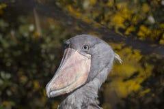 Shoebill Stork Balaeniceps rex Stock Images