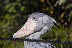 Shoebill Stork Balaeniceps rex Stock Photos