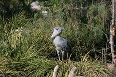 Shoebill Stork (Balaenicepsrex) Arkivfoto