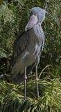 Shoebill Stork Royalty Free Stock Photo
