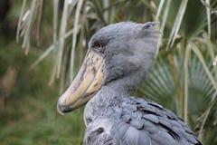 Shoebill Stork. Grey Shoebill Stork against a background of palms Royalty Free Stock Image