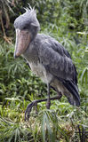 Shoebill stork 3 Royalty Free Stock Images