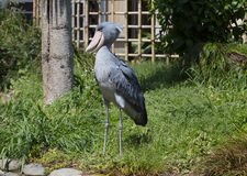 Shoebill Stork. Is a most unusual bird in the world. The shoebill is so unusual and little studied, which is considered one of the most mysterious creatures on stock photography