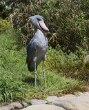 Shoebill Stork Royalty Free Stock Image