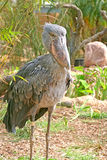 Shoebill Stork Royalty Free Stock Images