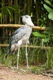 Shoebill Stork Stock Image