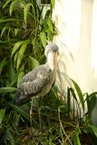 Shoebill. Is surrounded by green vegetation Royalty Free Stock Photography