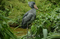 Shoebill in a swamp Royalty Free Stock Photos