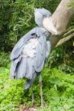 Shoebill - verticale groter Stock Afbeelding