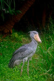 Shoebill Royalty Free Stock Images