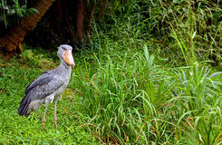 Shoebill Royalty Free Stock Photo