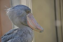 Shoebill-Vogel Lizenzfreies Stockfoto
